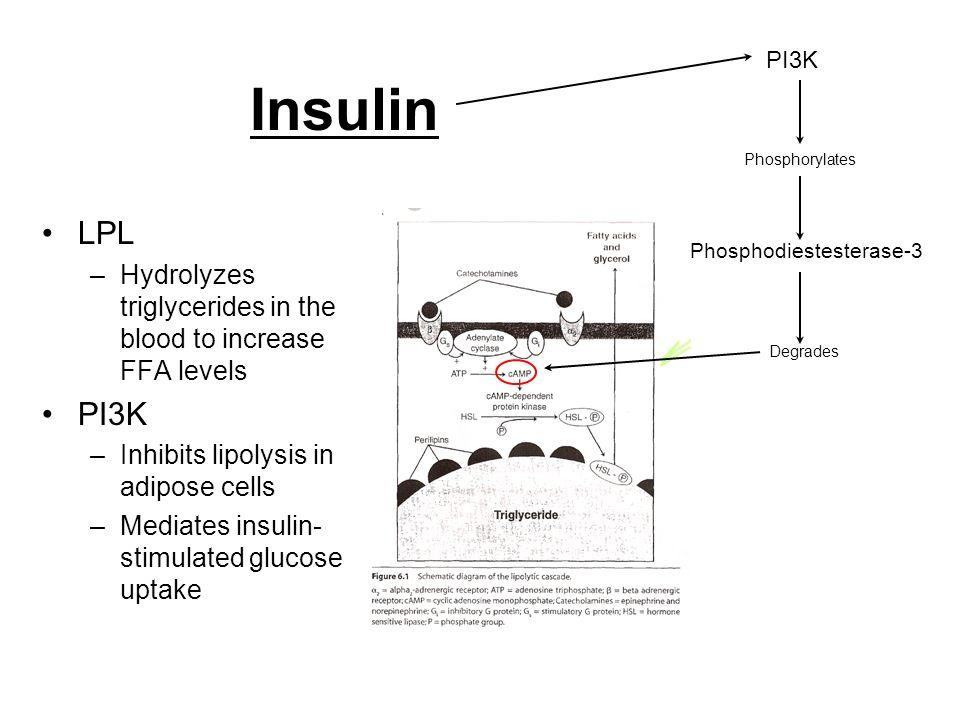 PI3K Insulin. Phosphorylates. LPL. Hydrolyzes triglycerides in the blood to increase FFA levels.