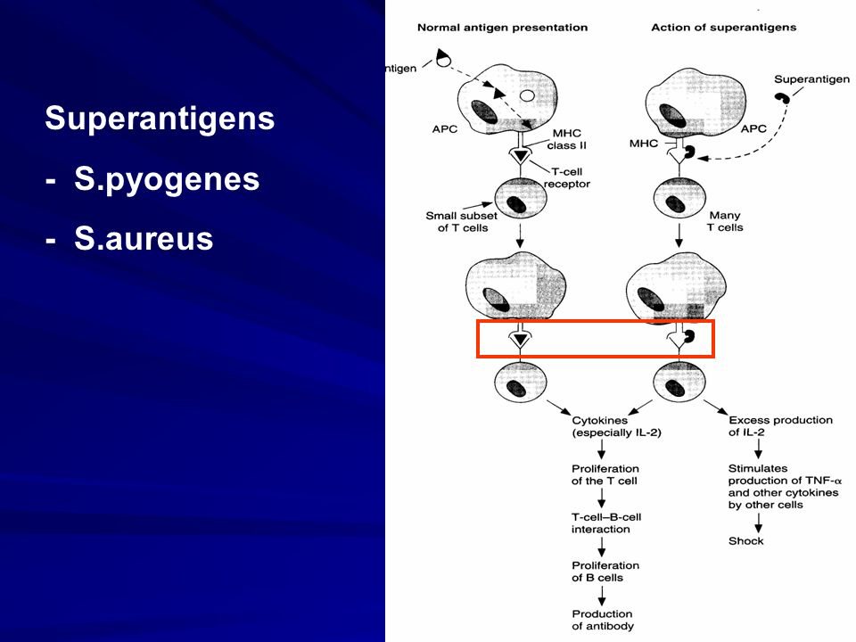 Superantigens - S.pyogenes - S.aureus