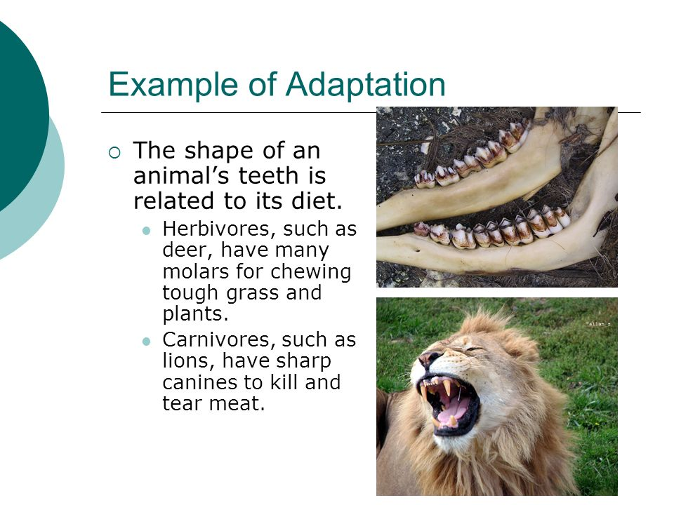 Example of Adaptation The shape of an animal's teeth is related to its diet.