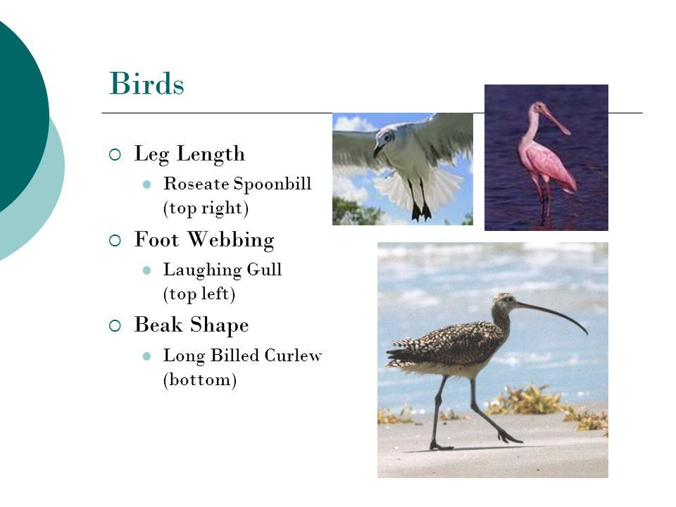 Birds Leg Length Foot Webbing Beak Shape Roseate Spoonbill (top right)