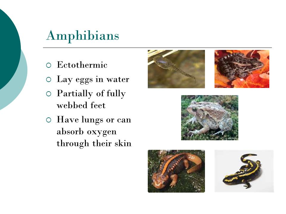Amphibians Ectothermic Lay eggs in water