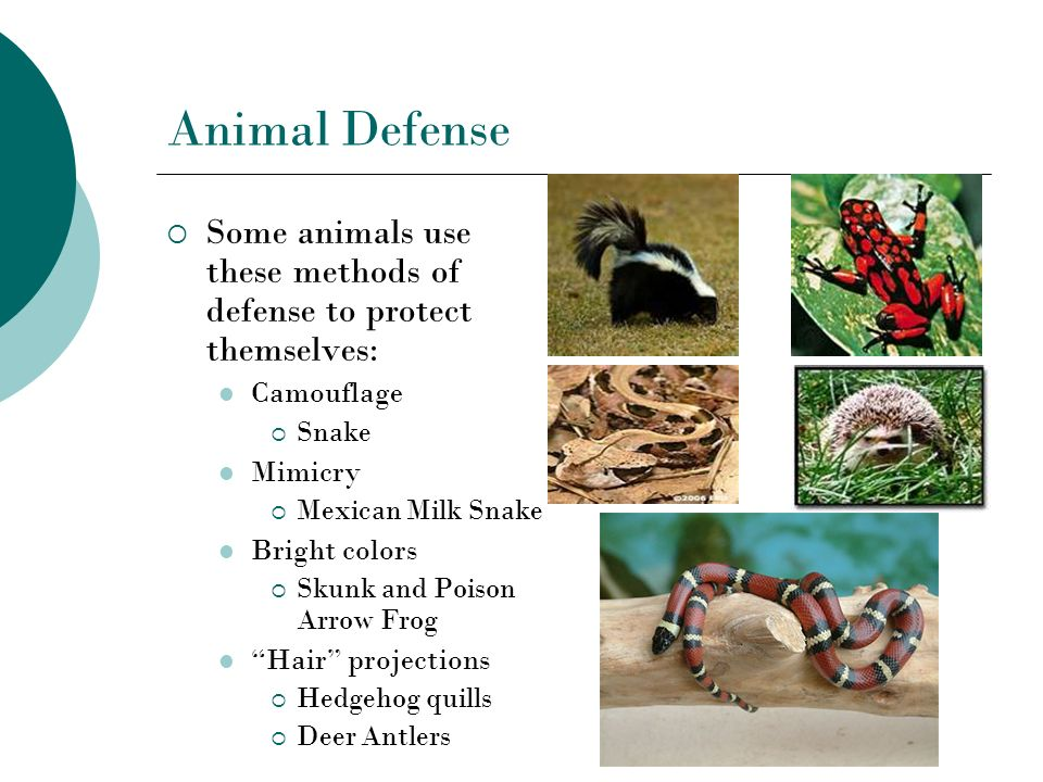 Animal Defense Some animals use these methods of defense to protect themselves: Camouflage. Snake.
