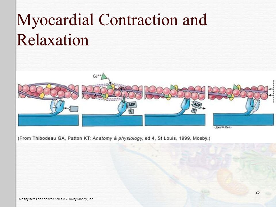 Myocardial Contraction and Relaxation