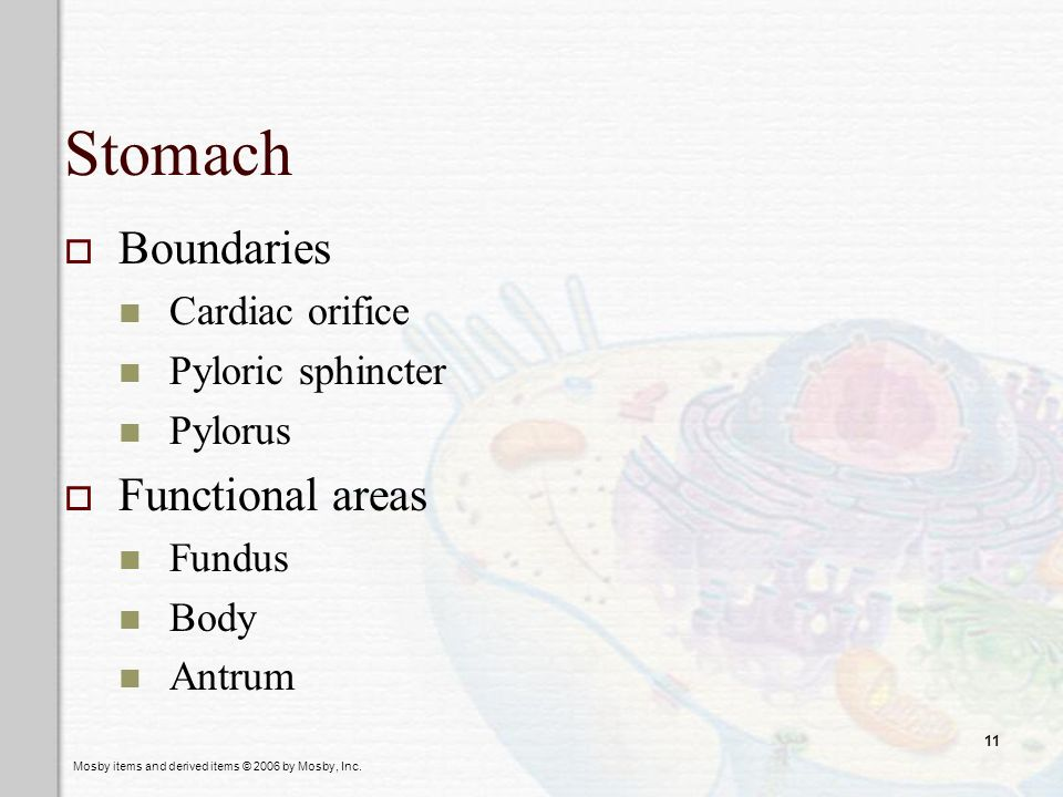Stomach Boundaries Functional areas Cardiac orifice Pyloric sphincter