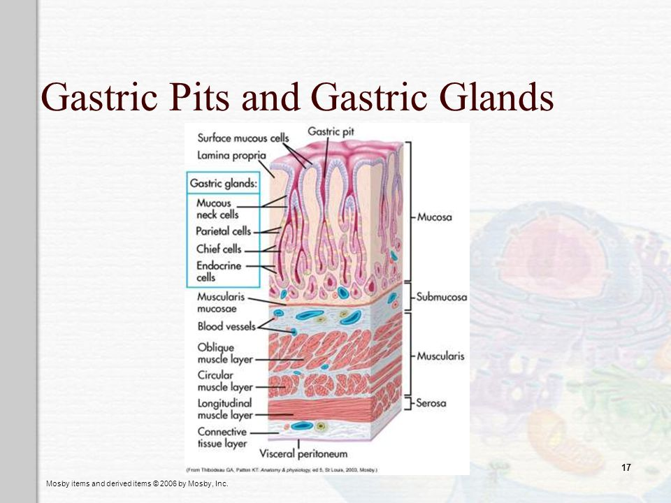 Gastric Pits and Gastric Glands