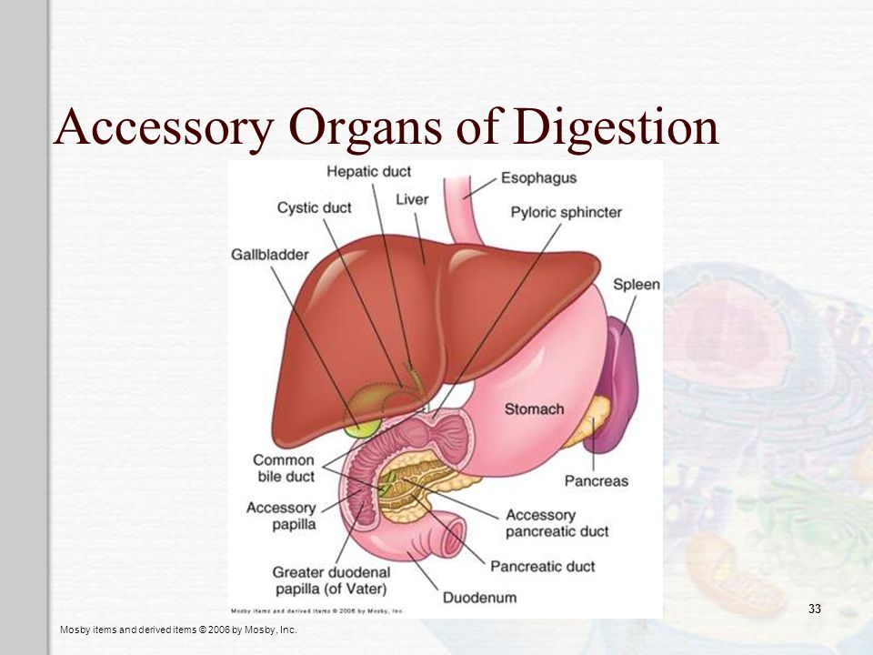 Accessory Organs of Digestion