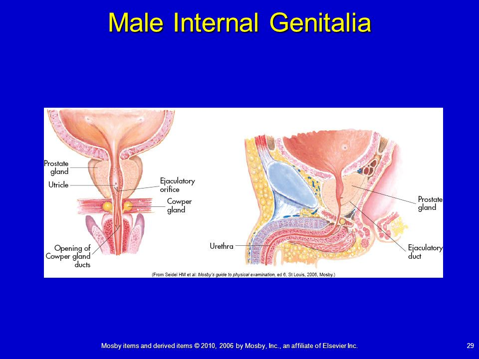Male Internal Genitalia