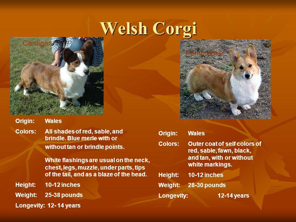 Welsh Corgi Cardigan Pembrooke