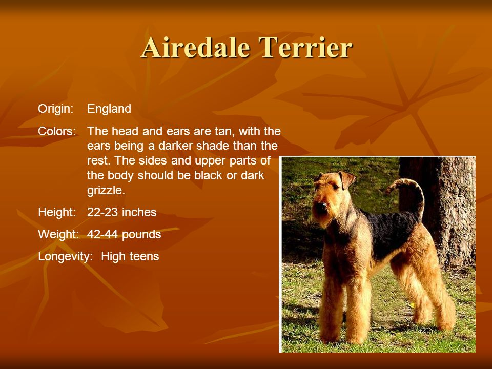 Airedale Terrier Origin: England