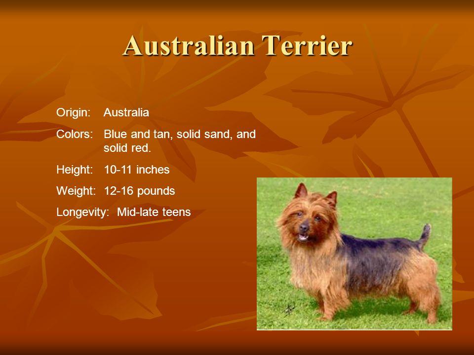 Australian Terrier Origin: Australia