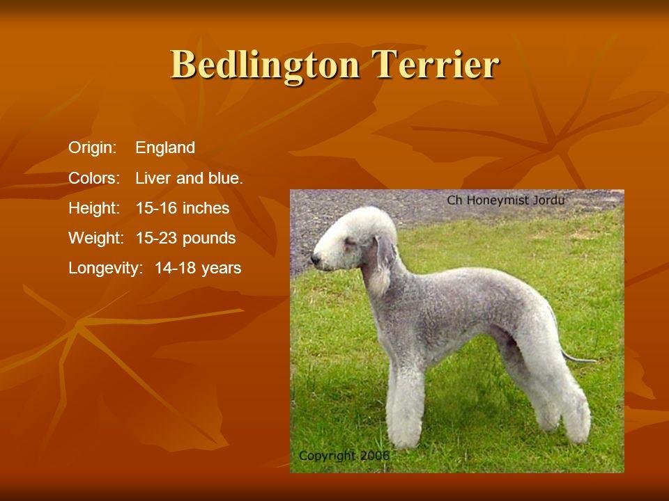 Bedlington Terrier Origin: England Colors: Liver and blue.