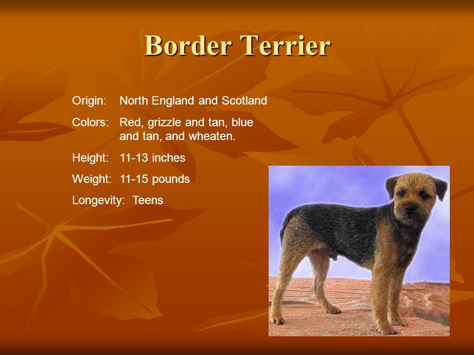 Border Terrier Origin: North England and Scotland