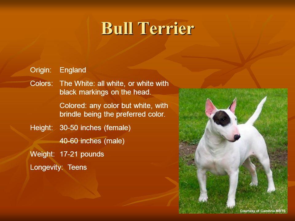 Bull Terrier Origin: England