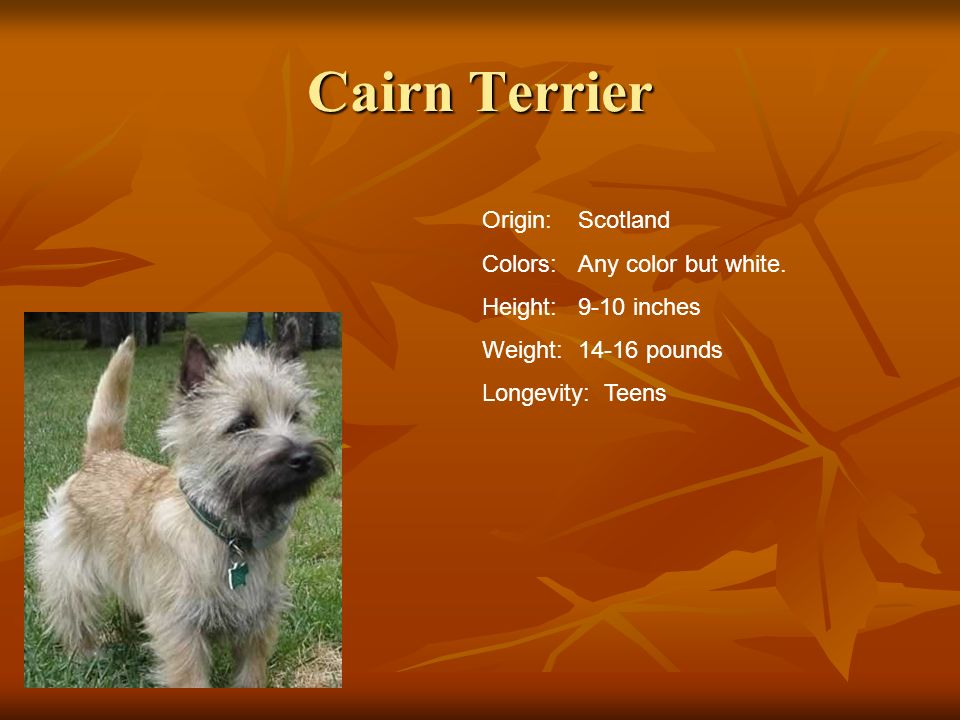 Cairn Terrier Origin: Scotland Colors: Any color but white.