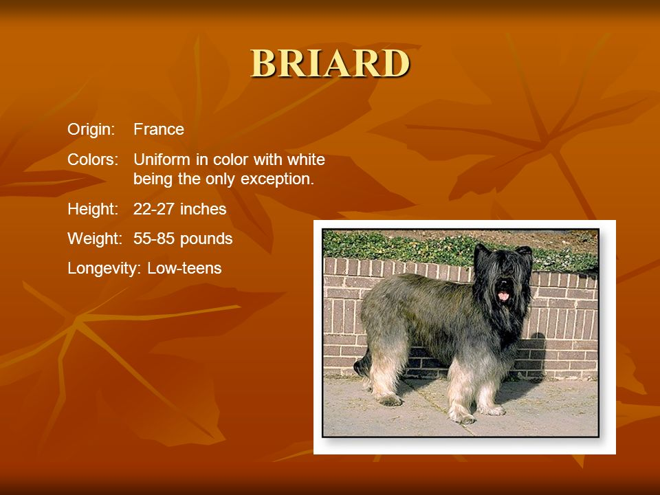 BRIARD Origin: France. Colors: Uniform in color with white being the only exception. Height: 22-27 inches.