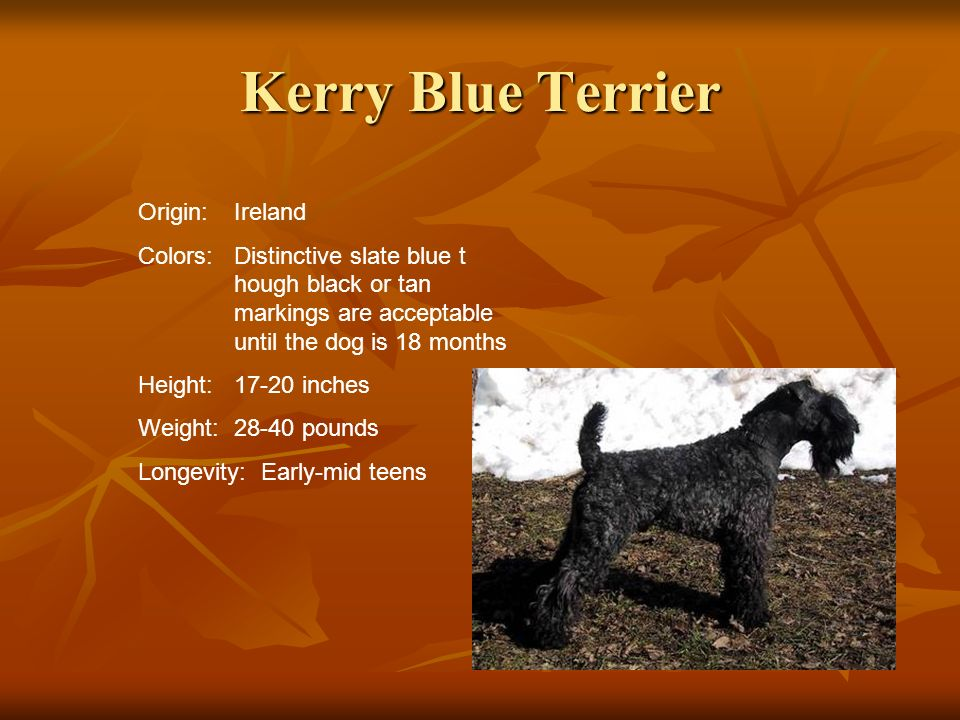Kerry Blue Terrier Origin: Ireland