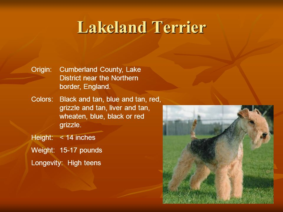 Lakeland TerrierOrigin: Cumberland County, Lake District near the Northern border, England.