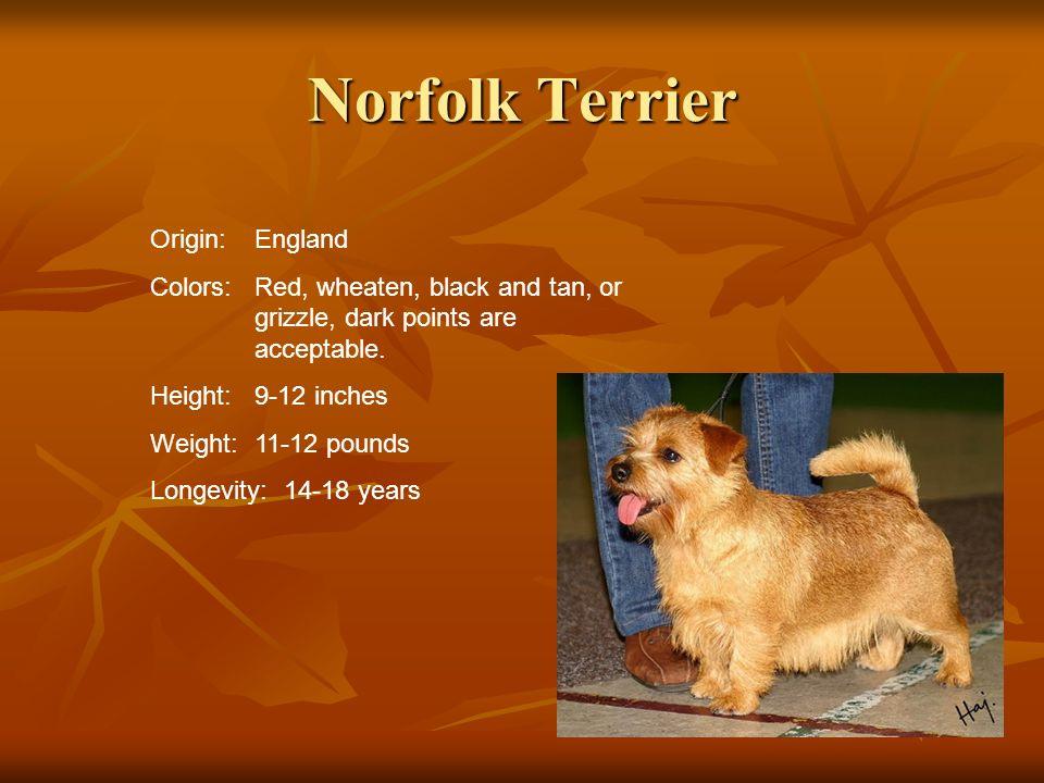 Norfolk Terrier Origin: England