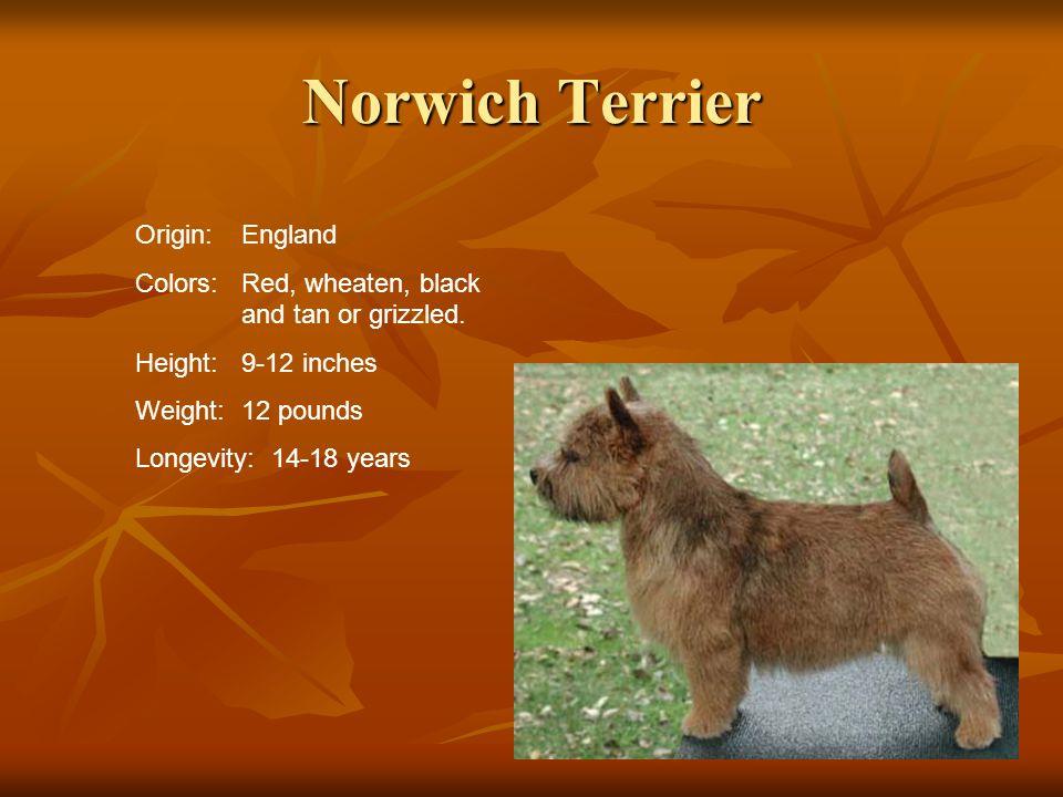Norwich Terrier Origin: England