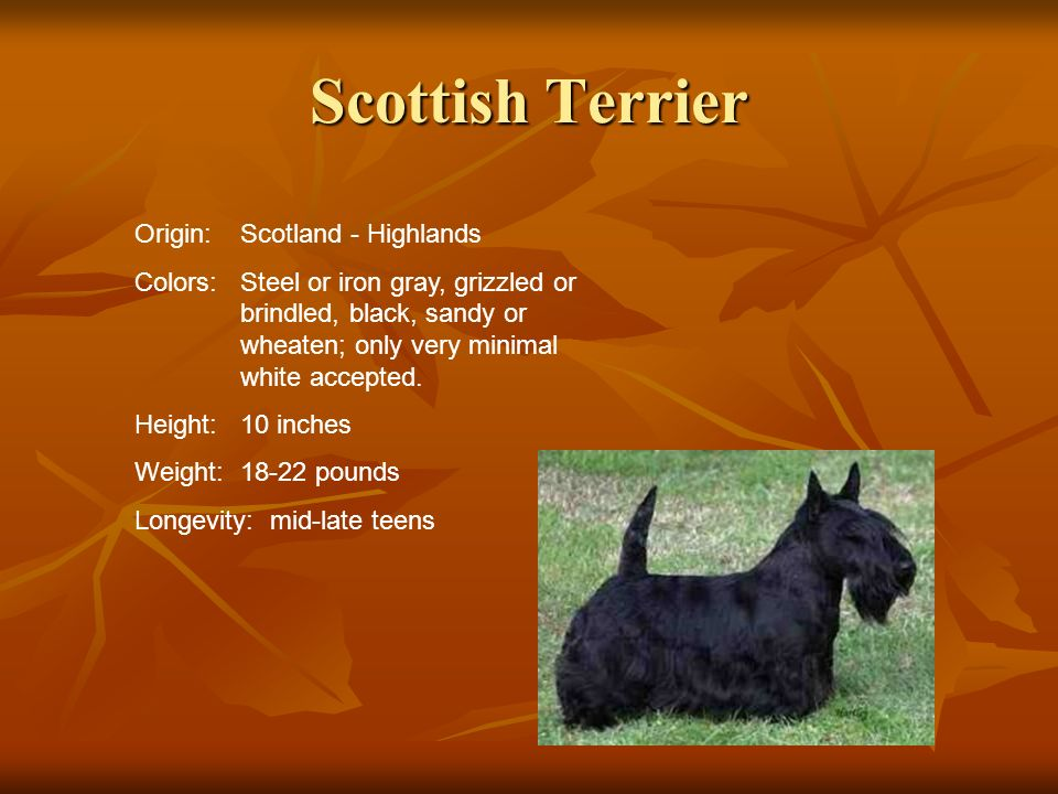 Scottish Terrier Origin: Scotland - Highlands