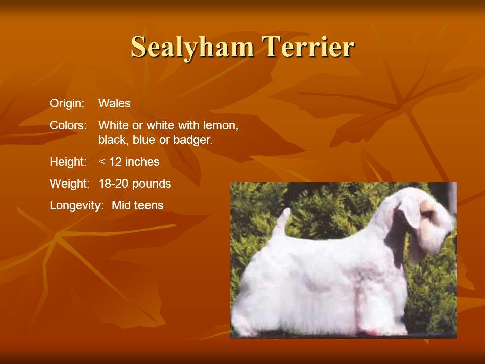 Sealyham Terrier Origin: Wales