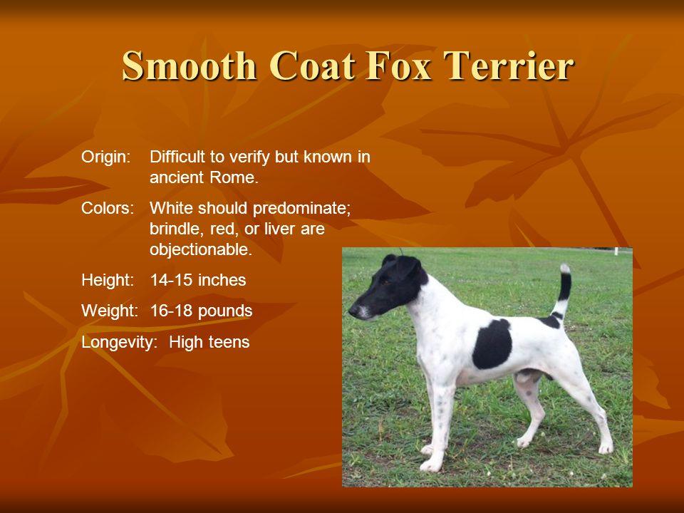 Smooth Coat Fox Terrier