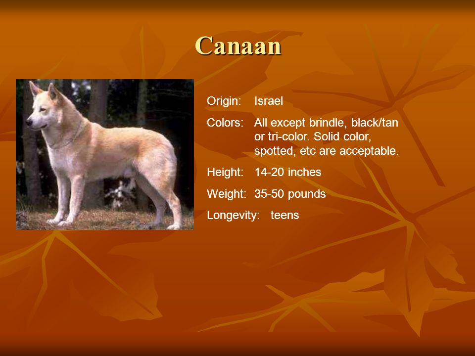 Canaan Origin: Israel. Colors: All except brindle, black/tan or tri-color. Solid color, spotted, etc are acceptable.