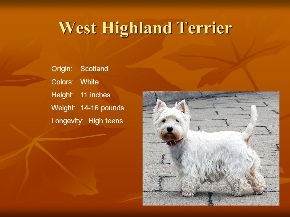 West Highland Terrier Origin: Scotland Colors: White Height: 11 inches