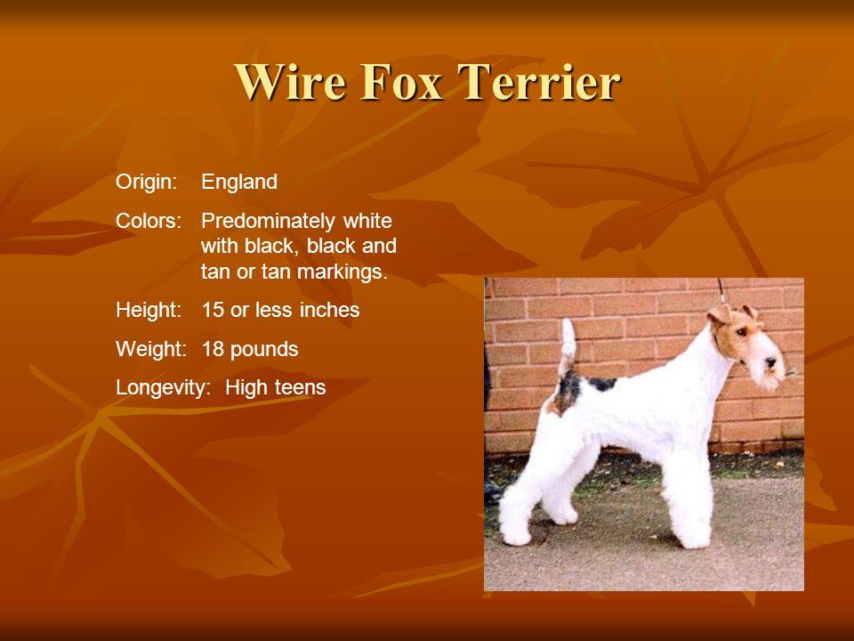 Wire Fox Terrier Origin: England