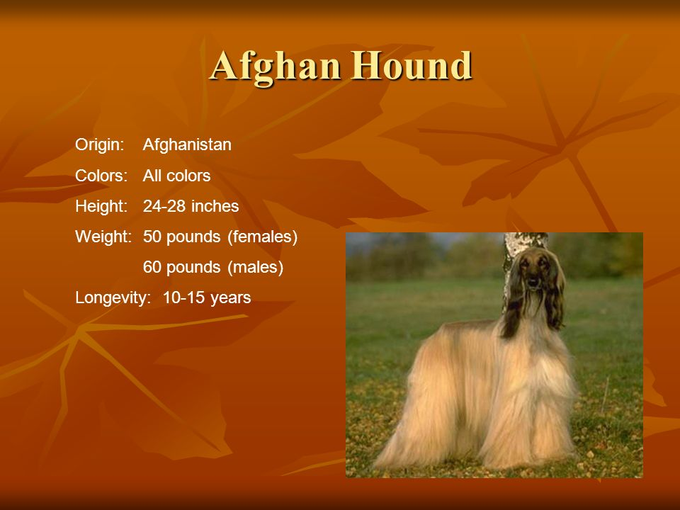 Afghan Hound Origin: Afghanistan Colors: All colors