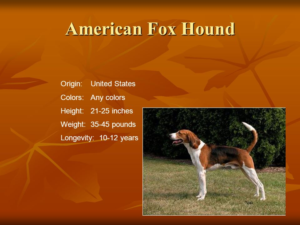 American Fox Hound Origin: United States Colors: Any colors