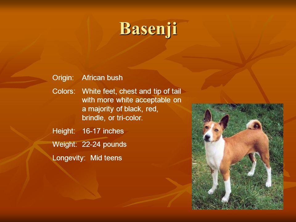 Basenji Origin: African bush