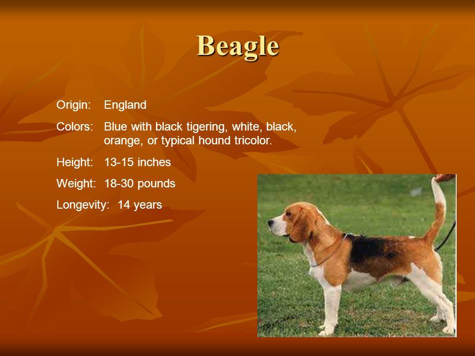Beagle Origin: England