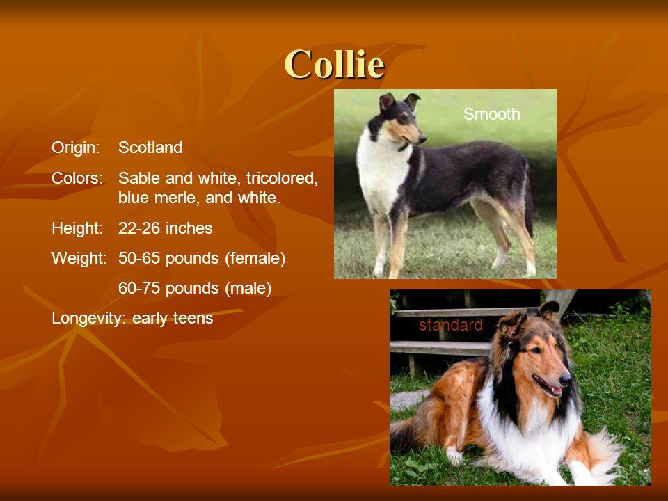 Collie Smooth Origin: Scotland