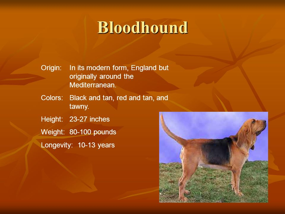 Bloodhound Origin: In its modern form, England but originally around the Mediterranean. Colors: Black and tan, red and tan, and tawny.