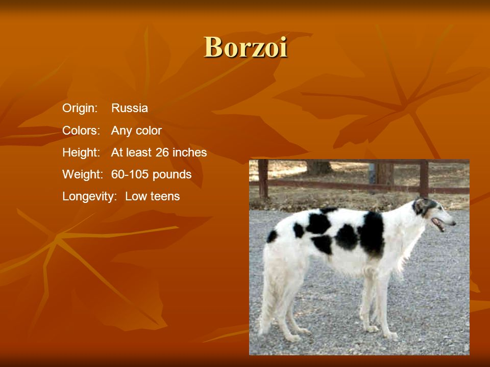Borzoi Origin: Russia Colors: Any color Height: At least 26 inches