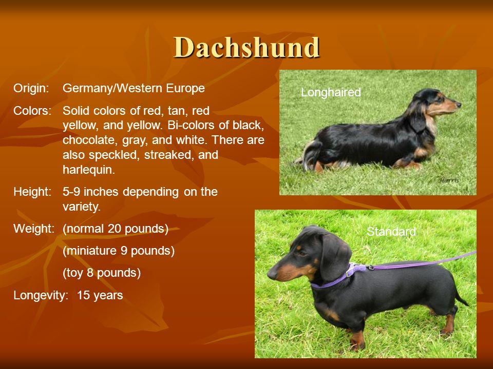 Dachshund Origin: Germany/Western Europe Longhaired