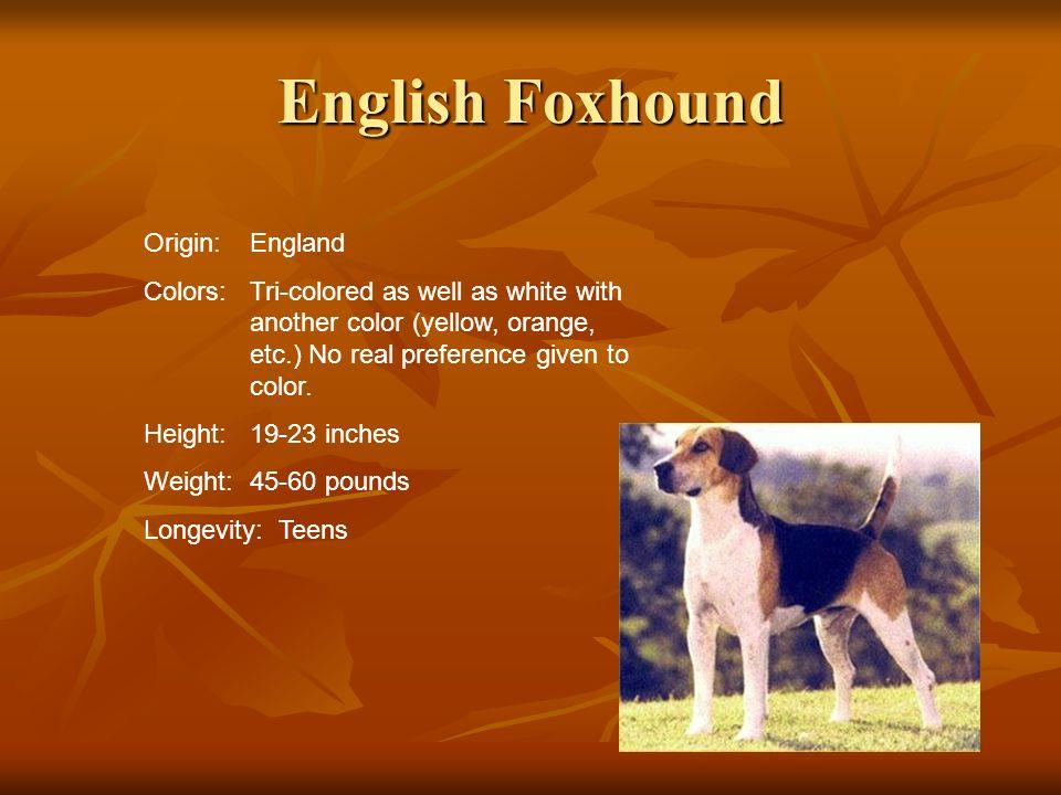 English Foxhound Origin: England