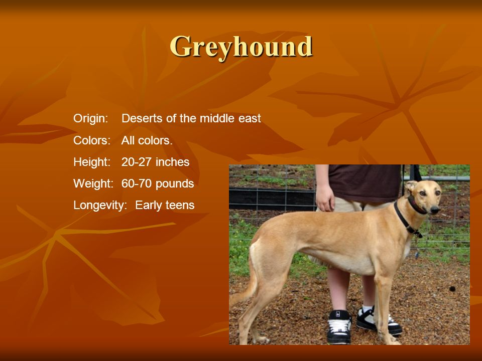 Greyhound Origin: Deserts of the middle east Colors: All colors.