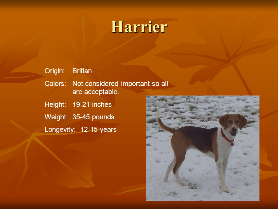 Harrier Origin: Britian