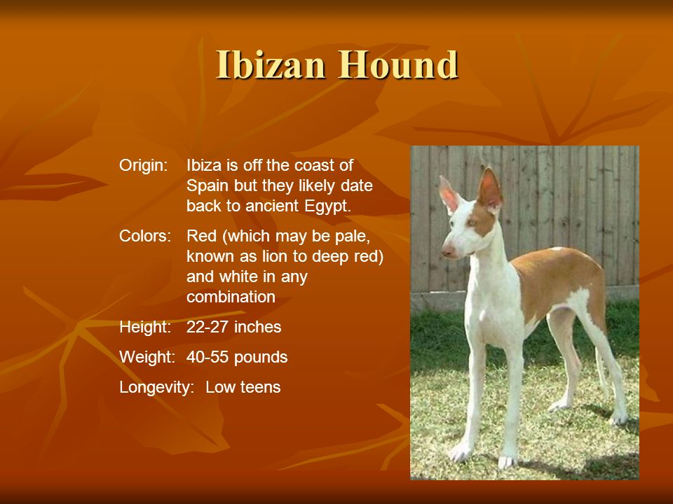 Ibizan Hound Origin: Ibiza is off the coast of Spain but they likely date back to ancient Egypt.