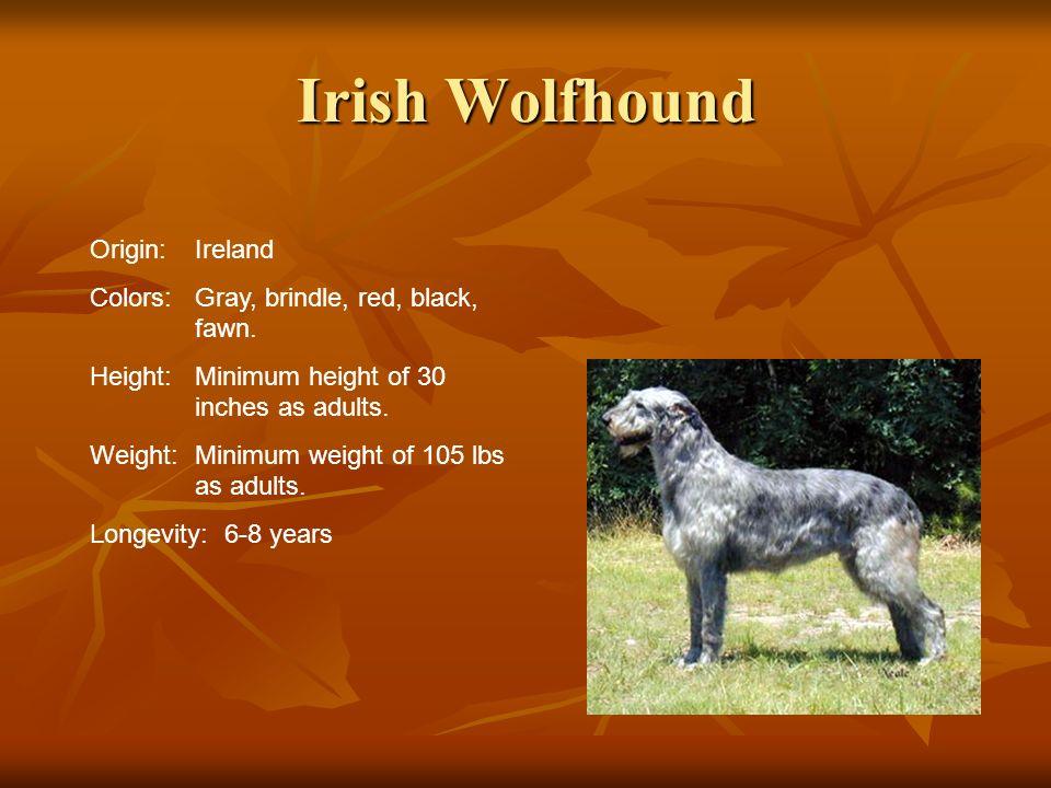 Irish Wolfhound Origin: Ireland