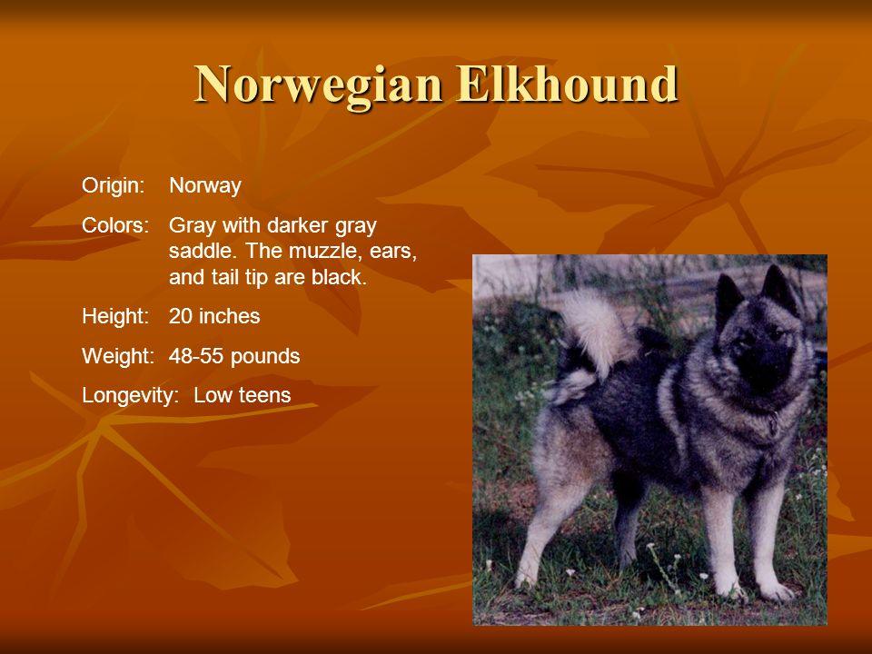 Norwegian Elkhound Origin: Norway