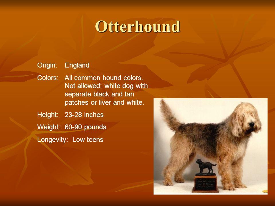 Otterhound Origin: England