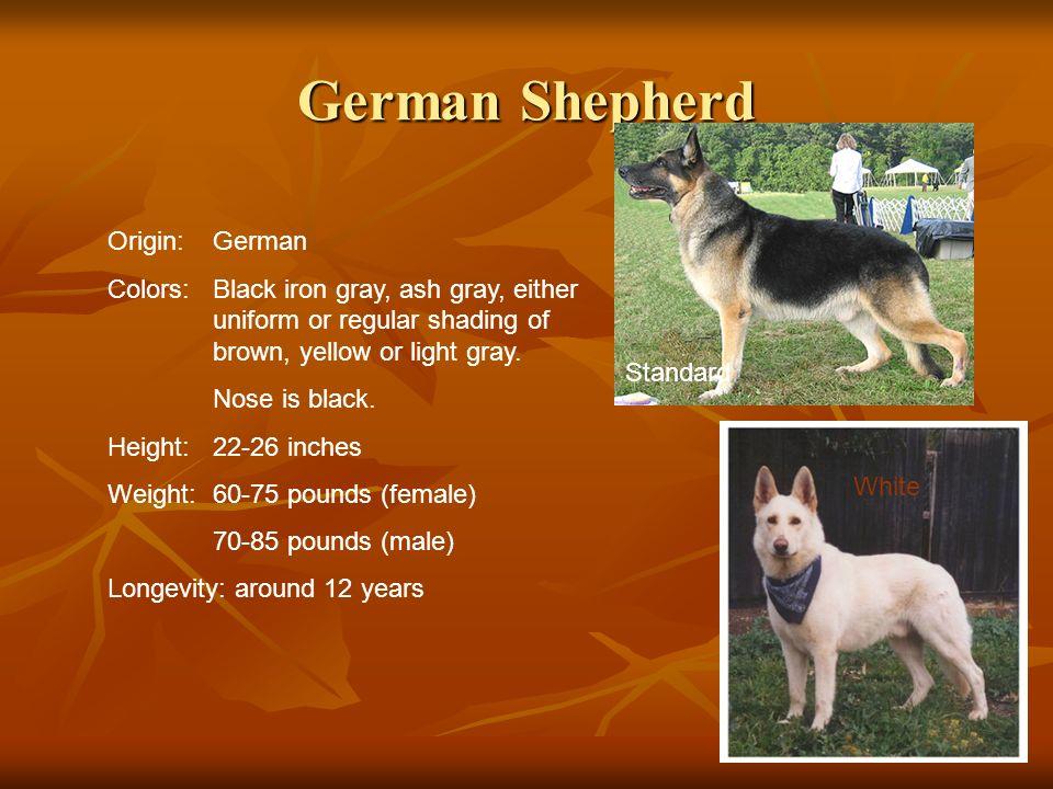 German Shepherd Origin: German