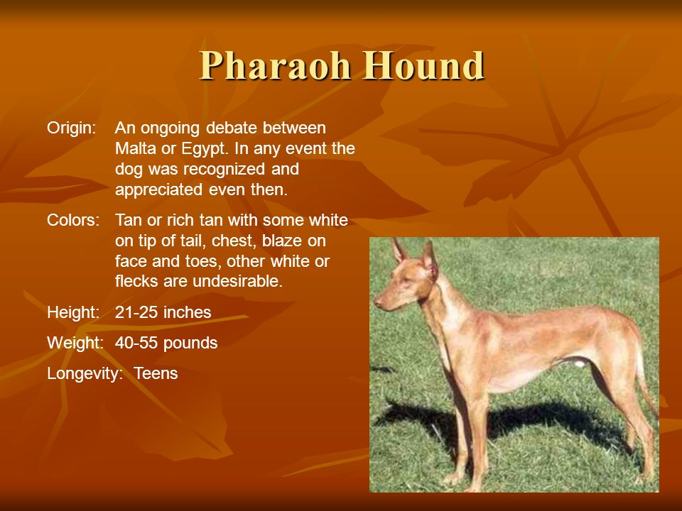Pharaoh HoundOrigin: An ongoing debate between Malta or Egypt. In any event the dog was recognized and appreciated even then.