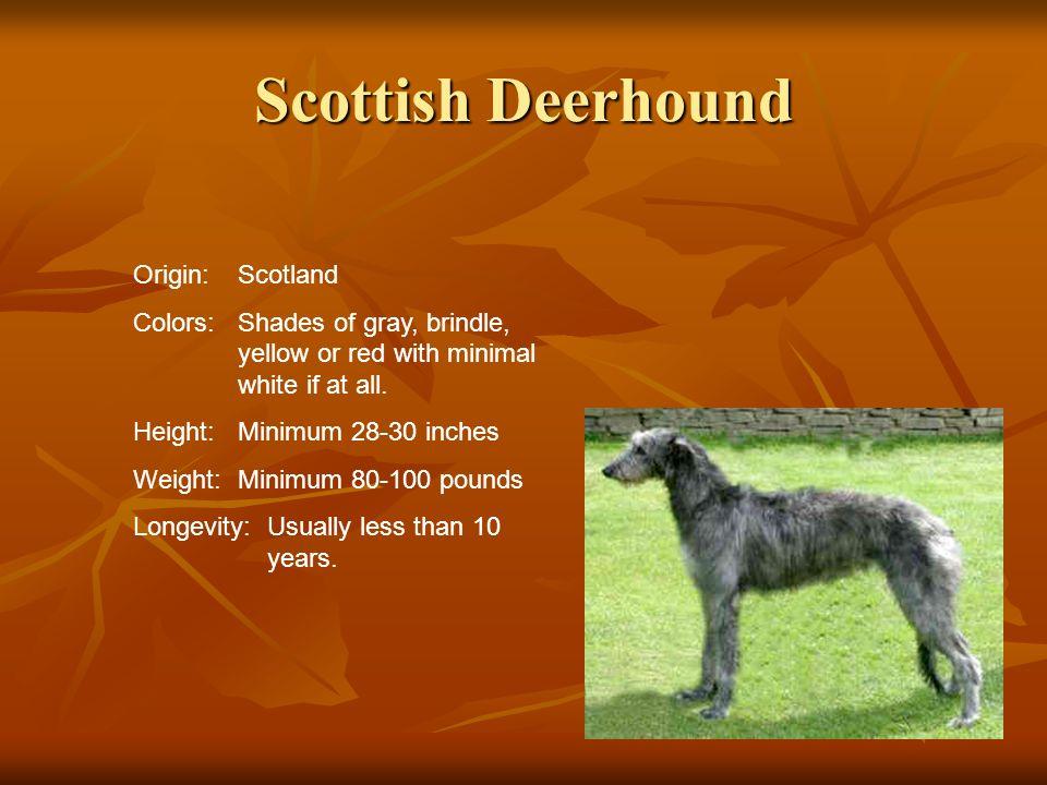 Scottish Deerhound Origin: Scotland