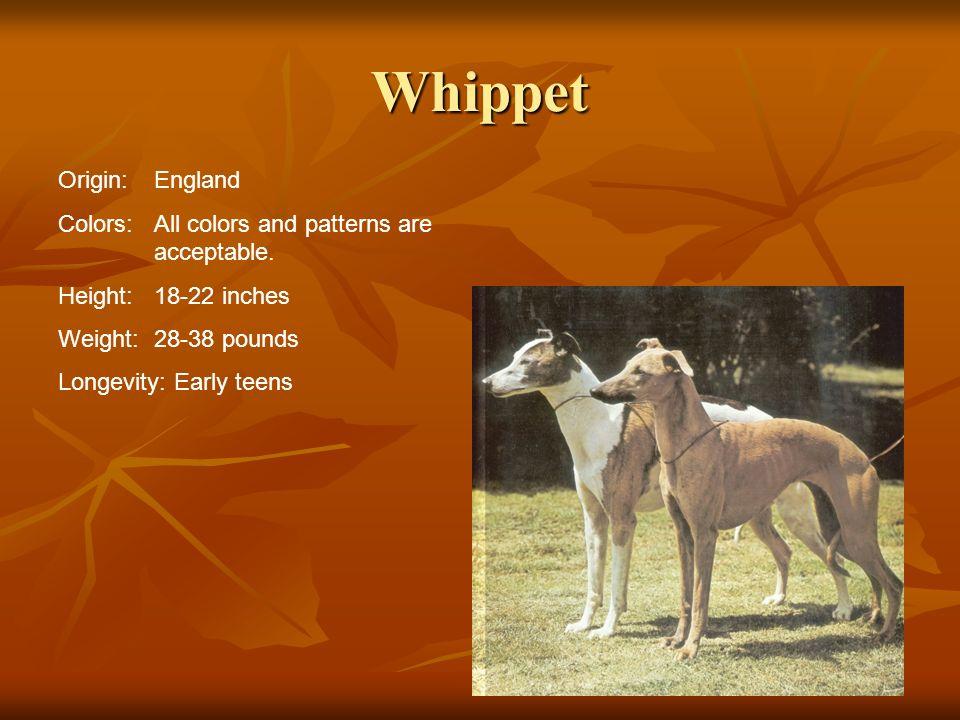 Whippet Origin: England