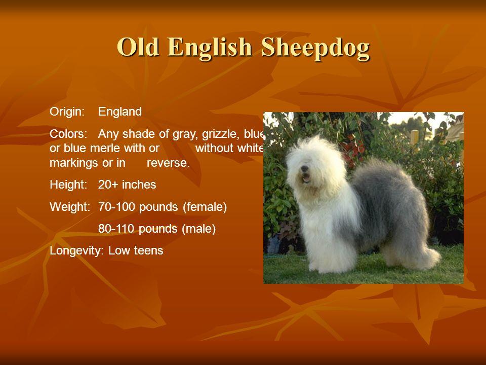 Old English Sheepdog Origin: England