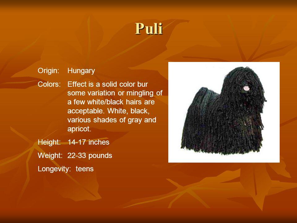 Puli Origin: Hungary.